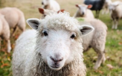 Conspiracy Theorists Call You A Sheep If You Listen To Science – Oh, The Irony!